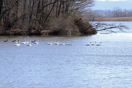 Tundra swans and Canadian geese swimming together on the lake.