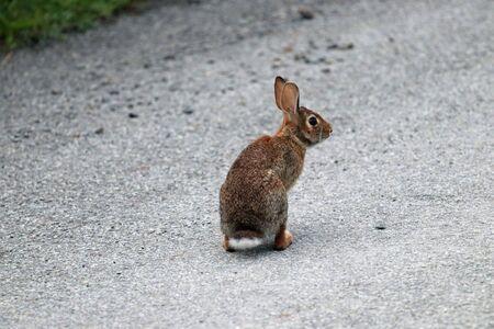 A wild rabbit sitting on a dirt road.