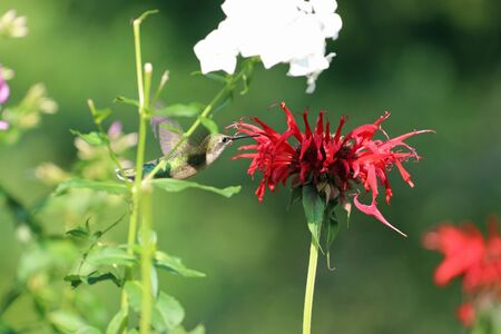 A hummingbird closing in on the red bee balm flower. Stock fotó