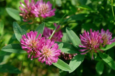 trifolium: Flower fragrant green clover growing on the glade