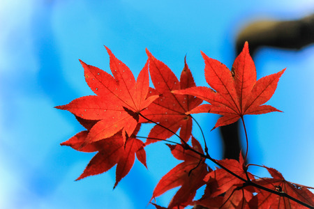 leafs: Red autumn leafs with clear sky background Stock Photo