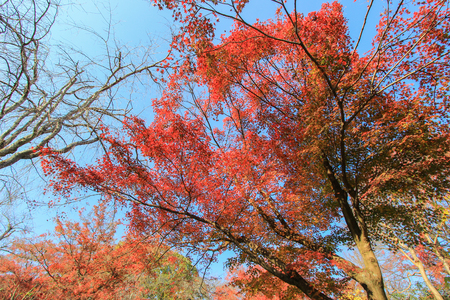 big leafs: Big tree with red autumn leafs on sunny day Stock Photo