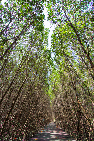 Mangrove forest and the pathway at Laem Phak Bia,Pethaburi province,Thailand Banco de Imagens