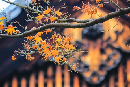 japanese maples: Kotoin Temple in autumn (Northern Kyoto, Japan)