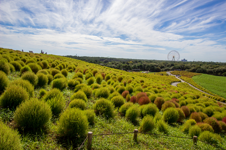 shurb: Kochia fields with beautiful sky  at Hitachi Seaside Park,Ibaraki,Japan