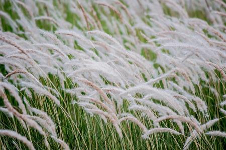 Imperata cylindrica (cogon grass) blowing in the wind 版權商用圖片