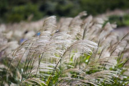 Susuki(Japanese Pampas Grass,Miscanthus sinensis) with Kochia fields behind,Ibaraki,Japan Stock Photo