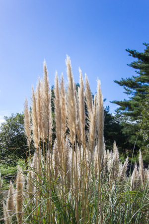 Susuki(Japanese Pampas Grass,Miscanthus sinensis) blowing in the wind on sunny day with blue sky.