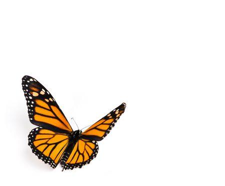 butterflies flying: Farfalla monarca su sfondo bianco