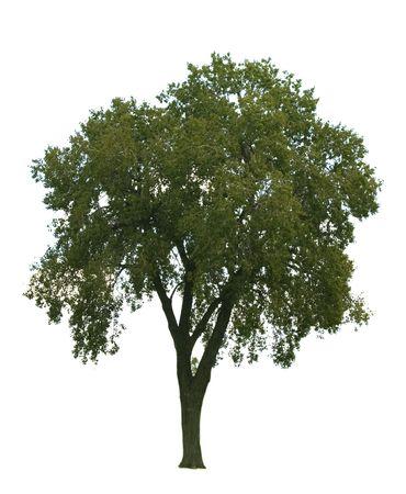 Elm tree isolated on white background