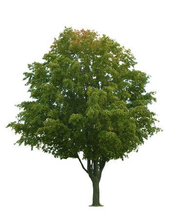 Maple albero isolato su sfondo bianco