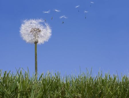 緑の草に青い空を背景に種子を失うタンポポ