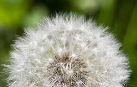 春と緑の背景の外種子のクローズ アップとタンポポ 写真素材