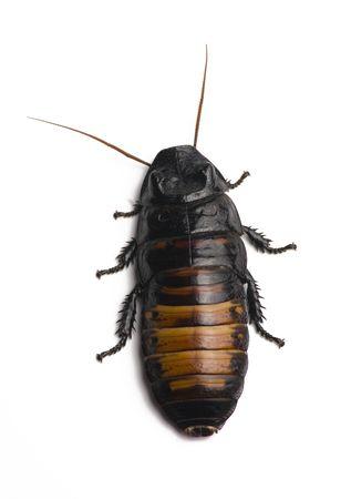 白い背景で隔離のゴキブリ