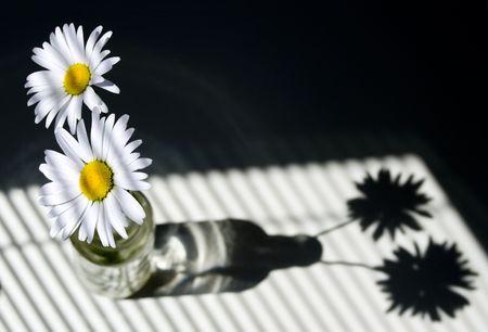 ブラインドのある窓に照らされてヒナギク 写真素材