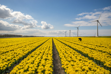 electric generating plant: Yellow tulips under a blue sky with windmills