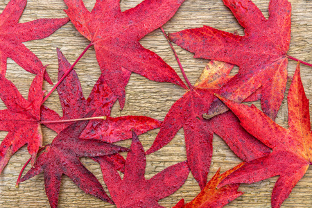 canadian icon: Red leafs