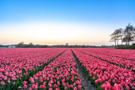A tulip field near the Keukenhof in the Netherlands. The sunset creates a warm and romantic image of the thousands of pink and purple tulips. The flowers are grown to be able to sell the flower bulbs.