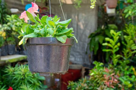 Brightly colored flowers and plants in hanging flower pots are often seen in the gardens or on balconies in residential houses. Standard-Bild - 130817841
