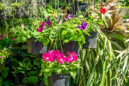 Brightly colored flowers and plants in hanging flower pots are often seen in the gardens or on balconies in residential houses. Reklamní fotografie