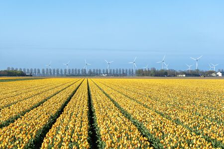 Beautiful low angle shot of a colorful field of tulip flowers in the netherlands with wind mills in the back ground
