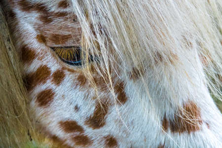 A Macro shot of the eye of a brown and white pony Standard-Bild