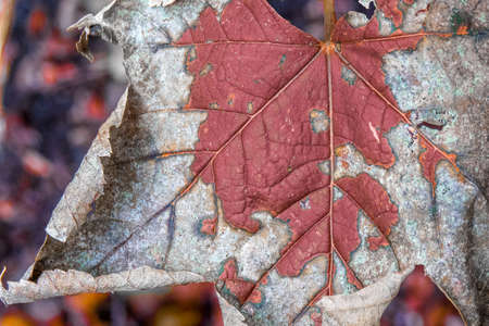 A Macro image of a withered leaf in autumn. The colors are warm red