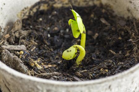 turba: Crisol de la turba del primer con las flores frescas germinadas.