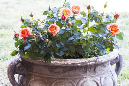 Closeup of a beautiful pink-orange miniature rose plants.