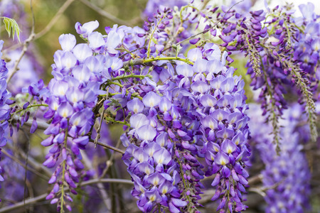 Blooming wisteria in spring.
