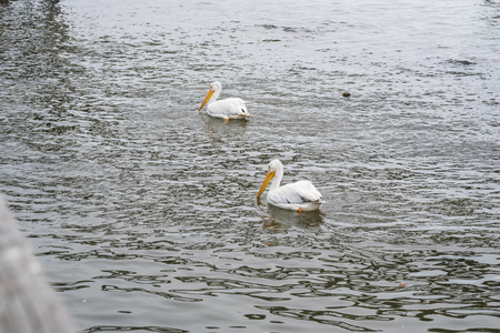 pelicans: White pelicans swimming in the sea. Stock Photo