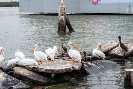 costal: Group of great white pelicans resting on the rocks the edge of the sea.