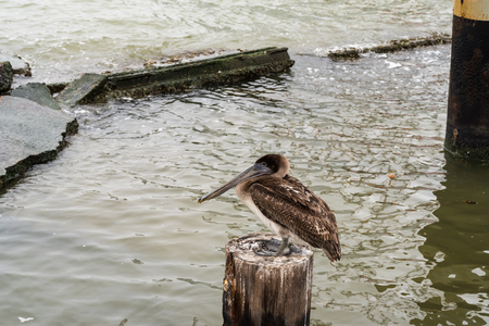 wooden post: Brown pelican perched on a wooden post on the edge of the sea.