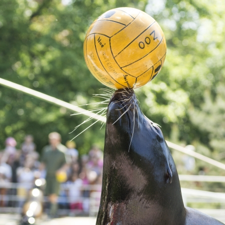 photo of the performance of a seal with ball in the Hungary Zoo