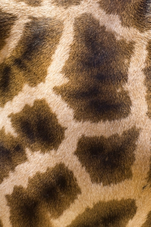 close-up photo of the giraffe skin texture photo