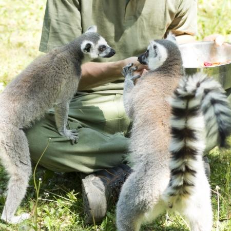 lemurs feeding in the Budapest Zoo photo