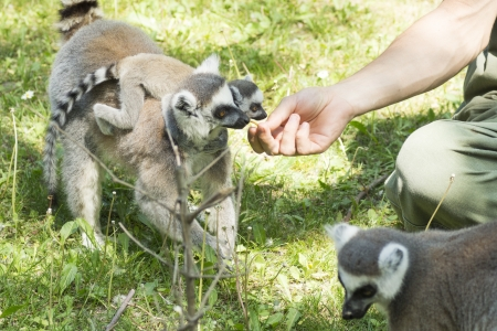 lemurs feeding in the Budapest Zoo Stock Photo - 16941108
