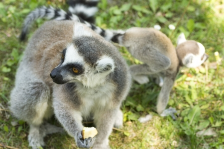 summer photo of the lemur family in the Budapest Zoo Stock Photo - 16941113