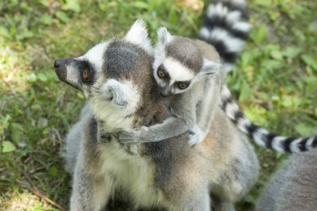 close-up photo of the lemur family in the Budapest Zoo photo