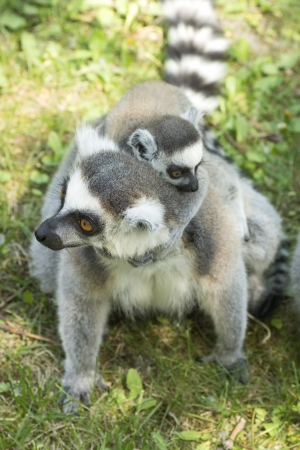 summer photo of the lemur family in the Budapest Zoo photo