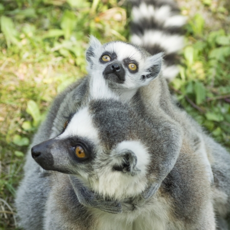 close-up photo of the lemur family in the Budapest Zoo Stock Photo - 16941074