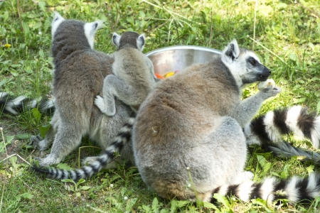 summer photo of the lemur family in the Budapest Zoo Stock Photo - 16941058