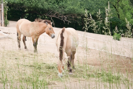 mongols: Przewalskis Horses eating peacefully in Prague Zoo