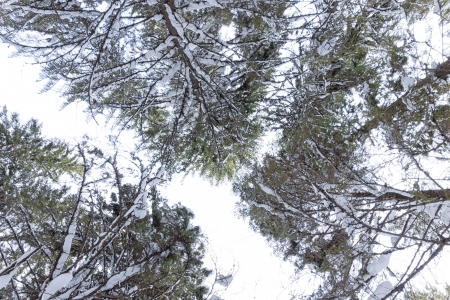 urals: Tall fir trees in winter at Urals, Russia