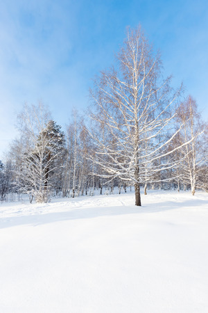 urals: wide angle shot of the birch in winter, pervouralsk. urals, russia