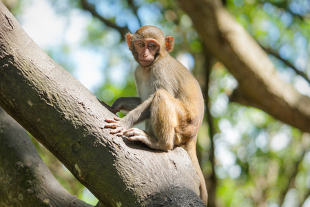Picture of the Macaque Rhesus baby Stock Photo