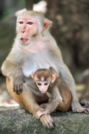Picture of the Macaque Rhesus family