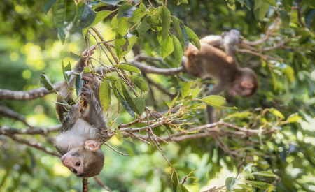 Picture of the Macaque Rhesus babies