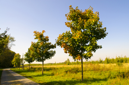 Maple (Genus Acer) at autumn - trees along a bikeway in the surrounding countryside of Berlin, Germany