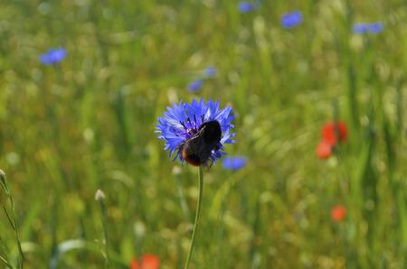 bee on flower: Buble Bee on cornflower [Centaurea cyanus]